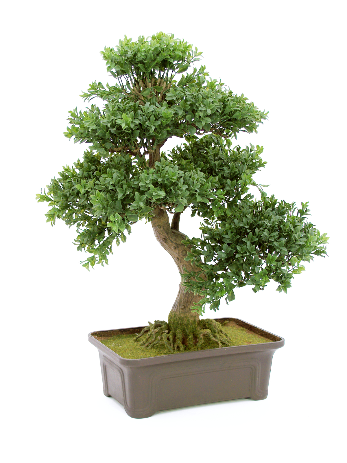 EUROPALMS Bonsai di bosso 538