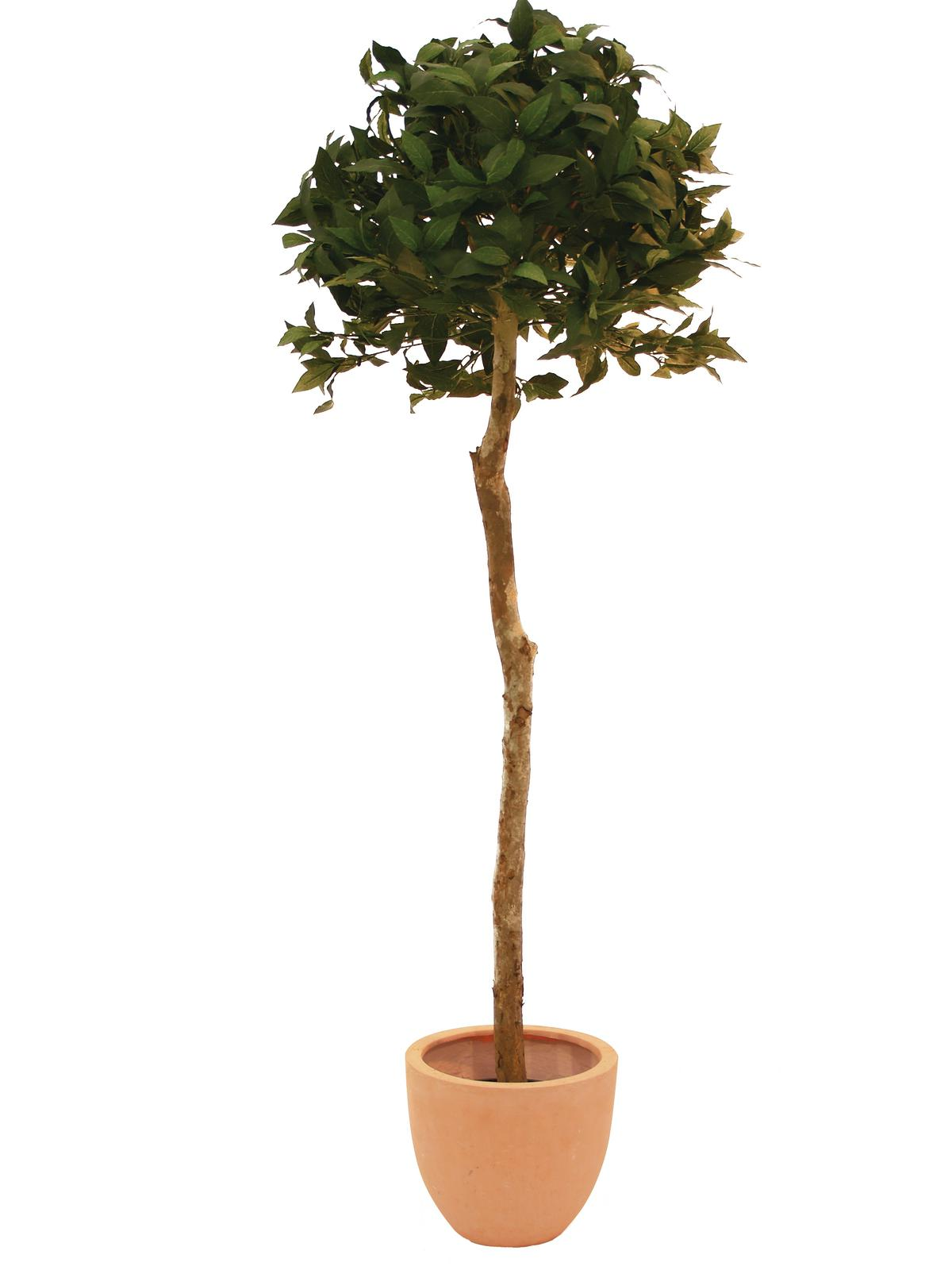 EUROPALMS Alloro, palla dell\'a