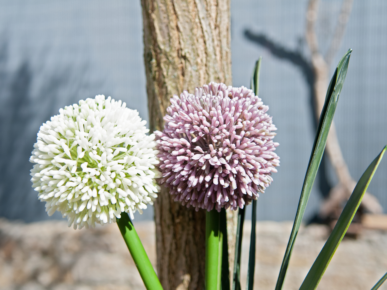 EUROPALMS Allium spray, panna, 55 cm